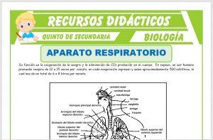 Ficha de El Aparato Respiratorio Partes para Quinto de Secundaria