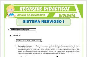 Ficha de El Sistema Nervioso Central para Quinto de Secundaria