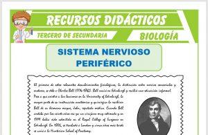 Ficha de El Sistema Nervioso Periférico para Tercero de Secundaria