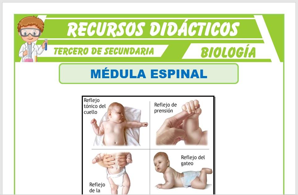 Ficha de La Médula Espinal para Tercero de Secundaria